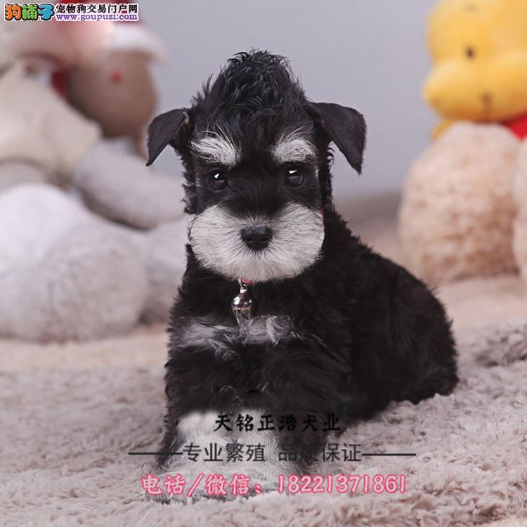 马尔济斯幼犬、纯白马尔济斯犬多少钱哪里买卖好养吗
