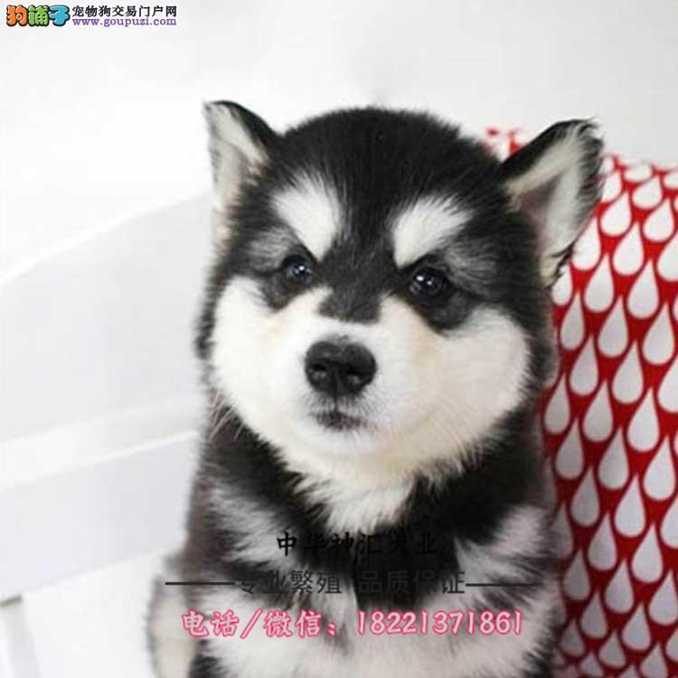 阿拉斯加、灰桃、黑白十字脸熊版阿拉斯加犬多只可选