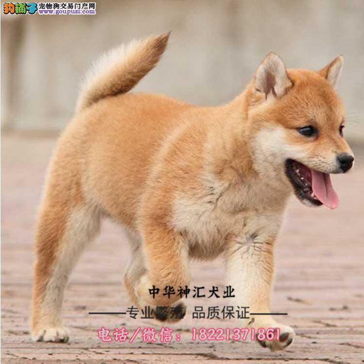 柴犬幼犬、纯种日系柴犬、黑赤色大骨骼、白嘴柴犬幼犬