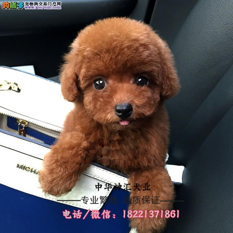 伯恩山幼犬、瑞士名犬、性格和善、温顺适合家庭养殖