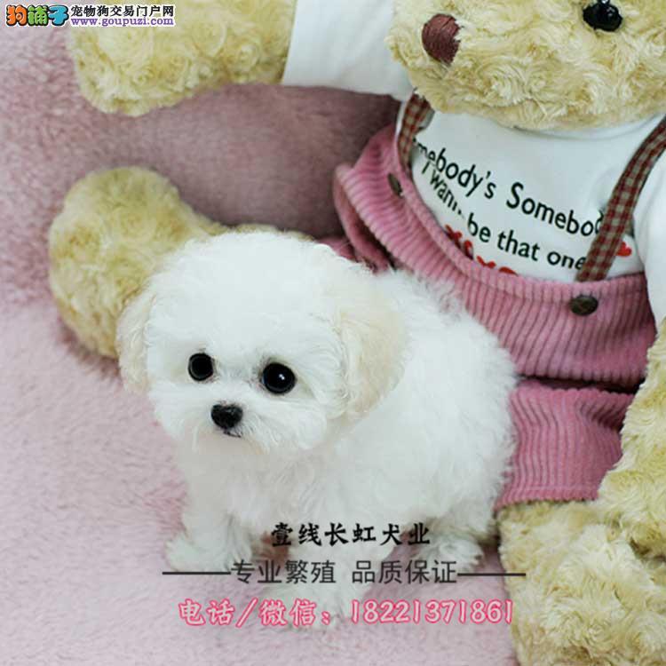 大白熊幼犬、大骨架、毛量足纯种白色大白熊幼犬出售