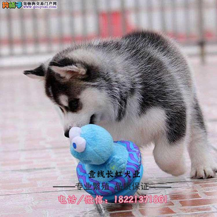 日本土佐犬幼犬、日系狩猎犬、猛犬斗犬、可狩猎野猪