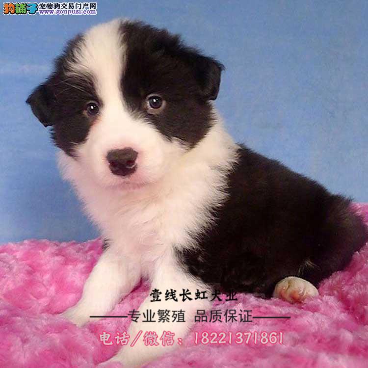 大丹犬幼犬、德国獒犬、虎斑、黄褐、蓝色、骨骼强壮