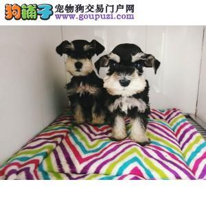 纯种雪纳瑞幼犬出售 驱虫疫苗已做好 全国送货上门纯种