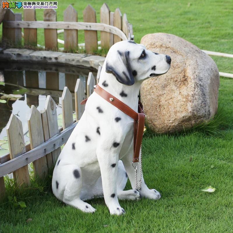 纯种斑点狗幼犬出售 驱虫疫苗已做好 全国送货上门纯种