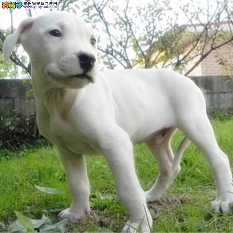 纯种杜高幼犬出售 驱虫疫苗已做好 全国送货上门纯种