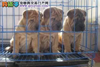 纯种沙皮幼犬出售 驱虫疫苗已做好 全国送货上门纯种