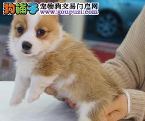 精品柯基幼犬一证书齐全一血统纯正一签协议送用品