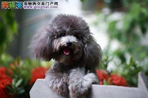 繁殖基地出售纯种 泰迪贵宾幼犬 批发零售均可包健康