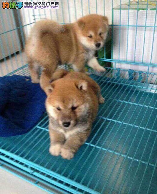 柴犬专业繁殖 高品质 包健康 欢迎实地挑选