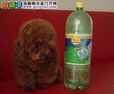 精品泰迪幼犬,诚心想养的朋友联系我