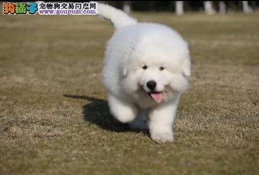 纯种大白熊幼犬出售800一只 全国送货上门