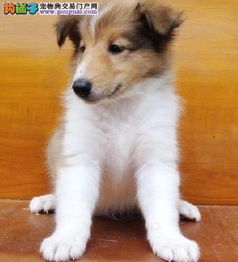 纯种苏牧幼犬出售800一只 全国送货上门
