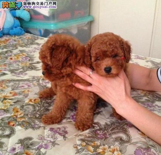 纯种泰迪幼犬出售800一只全国送货上门