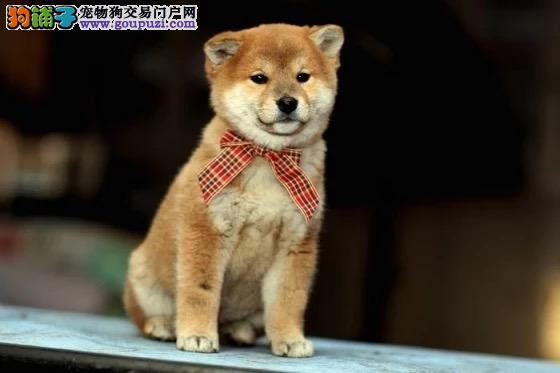 纯种柴犬幼犬出售800一只 全国送货上门