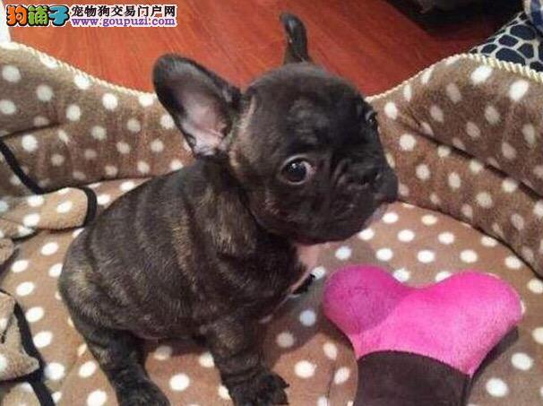 纯种法国幼犬出售800一只全国送货上门