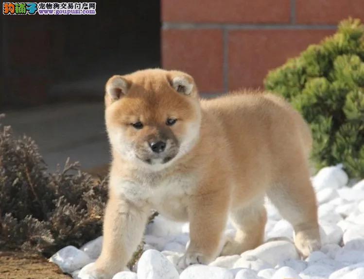 纯种柴犬幼犬出售800一只全国送货上门