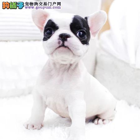 纯种法牛幼犬出售800一只全国送货上门