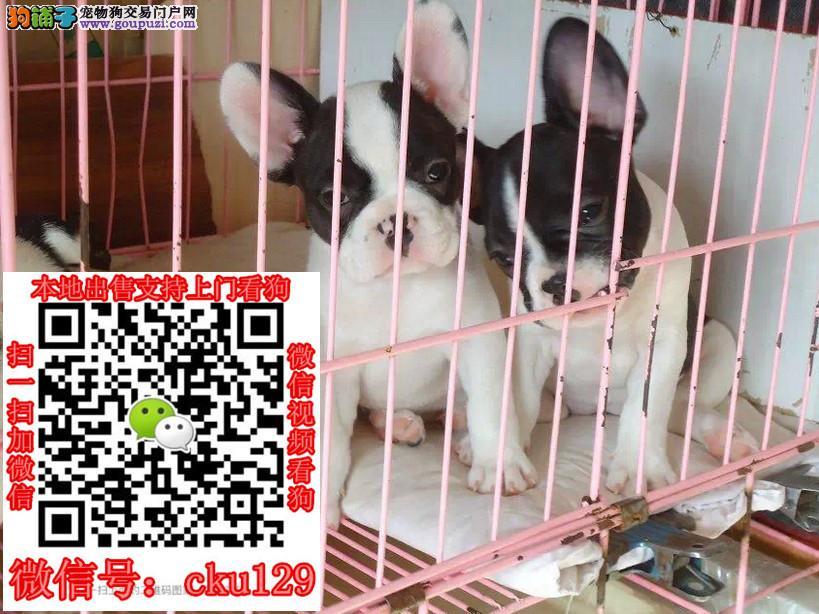 西安法牛犬幼犬价格法牛犬专业养殖