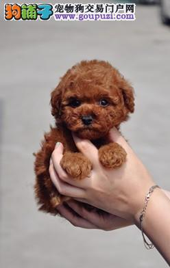 家养精品茶杯犬玩具泰迪犬贵宾狗宠物狗 包健康送用品