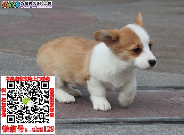 郑州哪里有卖柯基犬的?