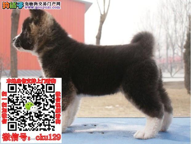 郑州哪里有卖柴犬的郑州柴犬多少钱郑州柴犬出售