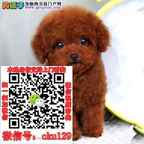 沈阳泰迪熊犬多少钱?哪里有卖?