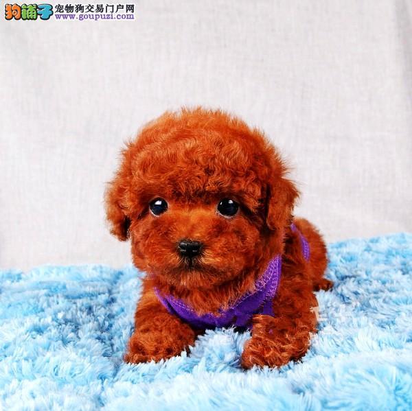 血统纯正的泰迪宝宝,娃娃脸,大眼睛,毛量好