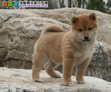 出售精品日本柴犬,本市可送 上门可选
