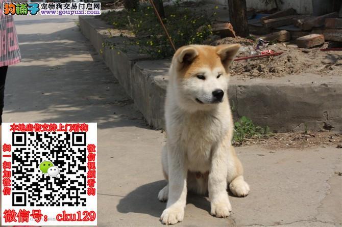 芜湖柴犬价格_柴犬多少钱一只