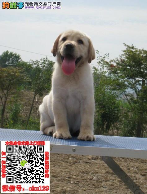 海口拉布拉多犬价格_拉布拉多犬多少钱一只