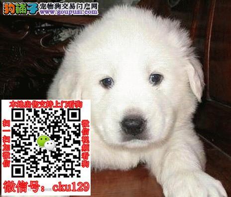 海口大白熊犬价格_海口大白熊犬多少钱一只