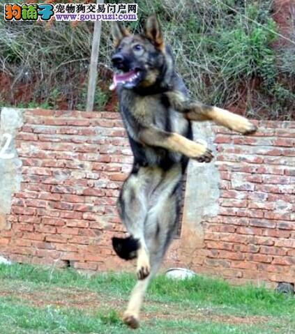 狗场出售纯种狼犬 昆明犬 全国可空运