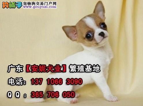 广州哪里有吉娃娃广州吉娃娃贵不贵