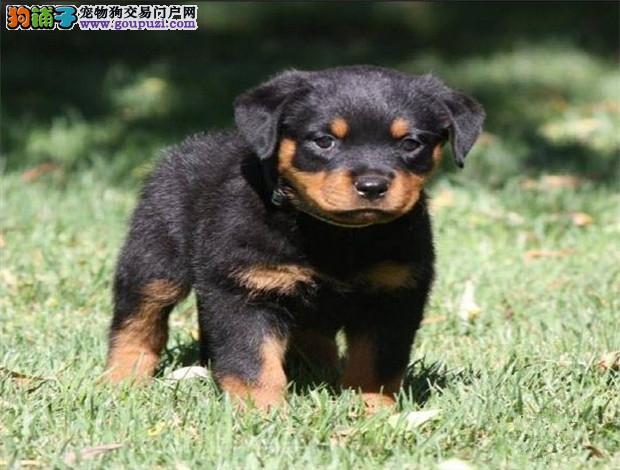 广州哪个狗场好广州哪个狗场有罗威纳