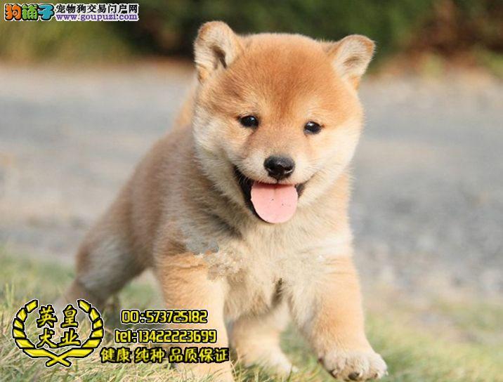 纯种日系柴犬 高端儒雅 高品质日本柴 柴犬幼犬