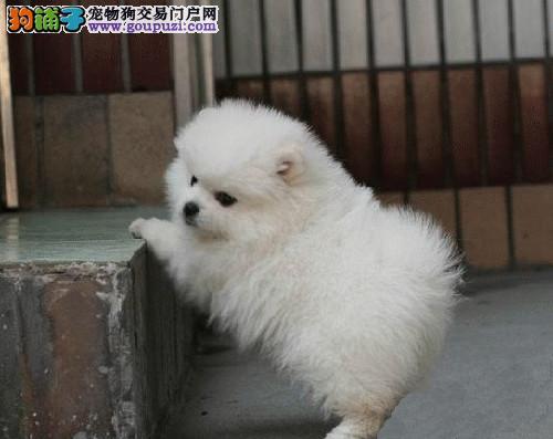 深圳龙岗区哪里卖健康狗 深圳哪里卖健康博美犬