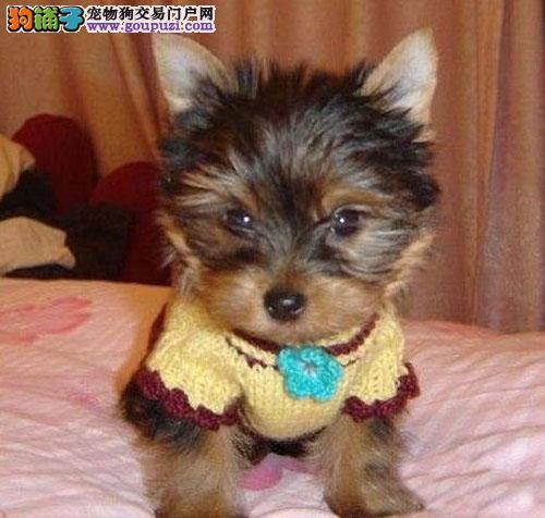 深圳约克夏价格多少 深圳在哪里有卖健康约克夏幼犬