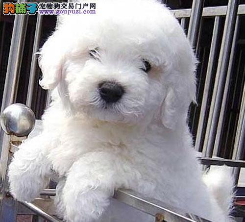 深圳哪里卖比熊犬 深圳纯种比熊幼犬多少钱一只