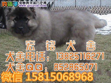 江门哪里有卖高加索犬 江门纯种高加索犬