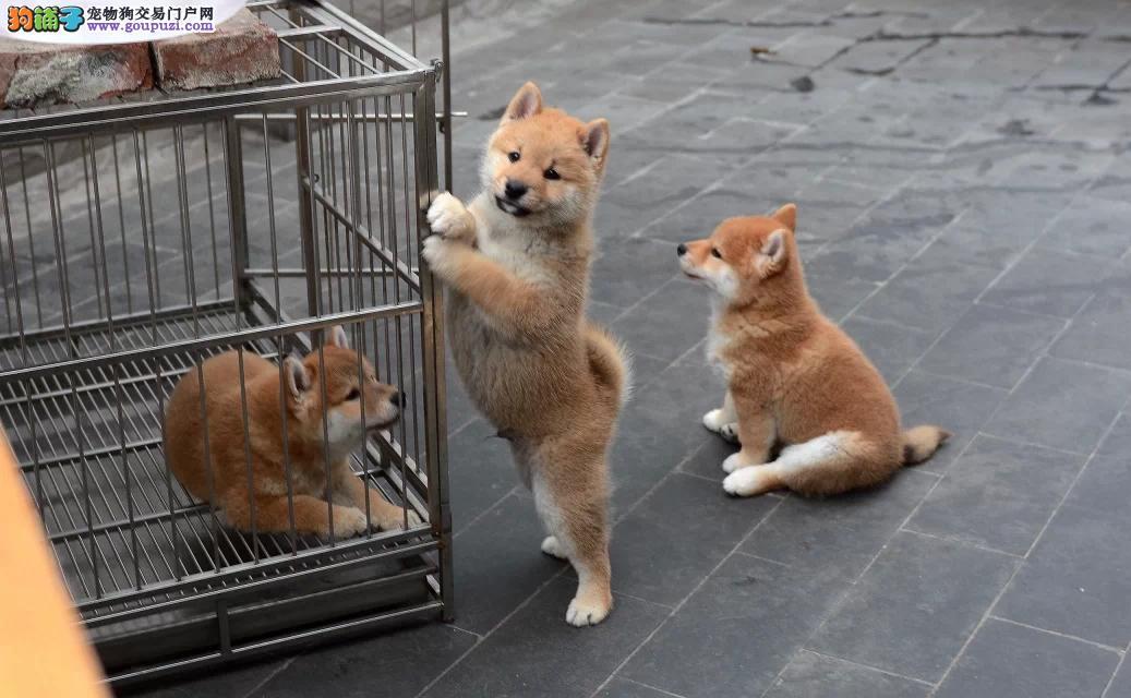 桂林买柴犬 广西买柴犬 犬舍出售柴犬