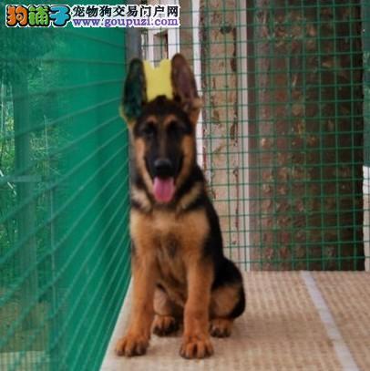 广州哪里有卖德牧广州德牧价钱多少康达犬舍狗狗便宜