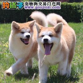 广州哪里有卖秋田,秋田价格多少钱一只,哪个狗场有卖