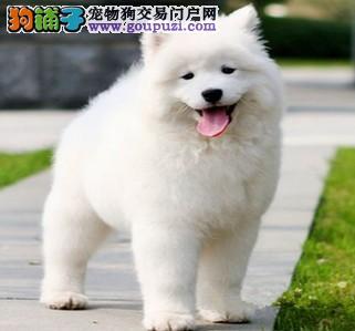 广州哪里有卖萨摩耶犬 萨摩耶犬什么价格 萨摩耶犬图片