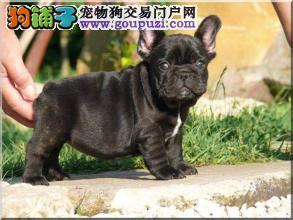 广州哪里有卖法国斗牛犬 纯种法国斗牛犬怎么卖