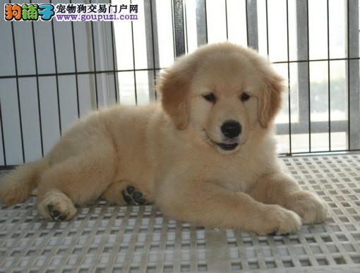 广州金毛犬大概价位多少广州哪里有卖金毛犬健康的
