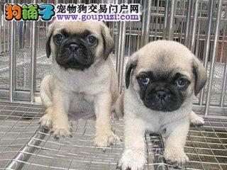 广州哪里有出售巴哥犬大概多少钱一只广州市内有卖巴哥