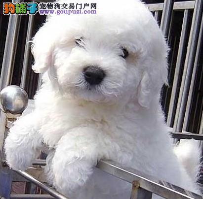 广州到哪有比熊买广州什么地方有卖纯种小比熊