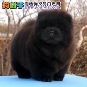 广州哪里有卖松狮狗 纯种健康的松狮出售