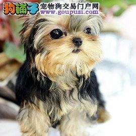 广州哪里有卖约克夏犬,请问大概什么价钱